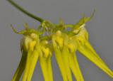 Bulbophyllum pecten-veneris. Close-up.