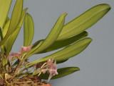 Bulbophyllum infundibuliforme ssp. infundibuliforme