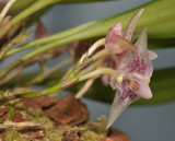 Bulbophyllum infundibuliforme ssp. infundibuliforme. Close-up.