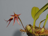 Bulbophyllum levanae