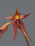 Bulbophyllum levanae. Close-up.