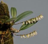 Bulbophyllum oxychilum