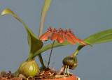 Bulbophyllum pumilio.