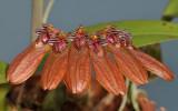 Bulbophyllum pumilio. Close-up.