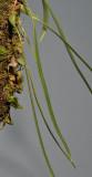 Bulbophyllum centrosemiflorum