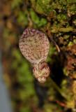 Bulbophyllum centrosemiflorum. Close-up.
