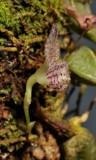 Bulbophyllum centrosemiflorum. Close-up side.