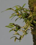Bulbophyllum fruticulum