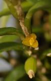 Bulbophyllum fruticulum. Close-up.