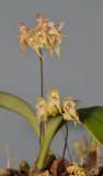 Bulbophyllum insulsum. Closer.
