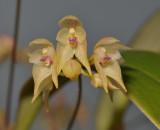 Bulbophyllum insulsum. Close-up.