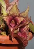 Bulbophyllum macrobulbum. Close-up.