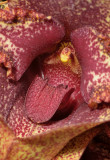 Bulbophyllum macrobulbum. Close-up lip.