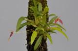 Bulbophyllum nasica