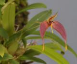 Bulbophyllum nasica. Closer.