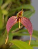Bulbophyllum nasica. Close-up.