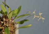 Bulbophyllum oreodoxa