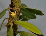 Bulbophyllum sinapis