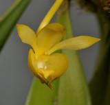 Bulbophyllum sp. Close-up.