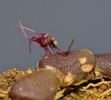 Bulbophyllum olorinum. Close-up.