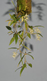 Bulbophyllum trifilum subsp. trifilum