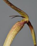 Bulbophyllum urosepalum. Close-up.