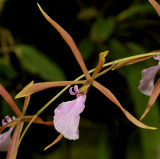 Encyclia bractescens. Close-up side.
