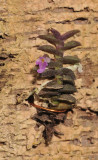Schoenorchis pygmaea