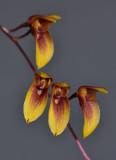 Bulbophyllum hengstumianum. Close-up.