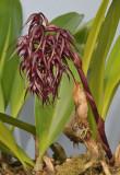 Bulbophyllum lasianthum. Closer.