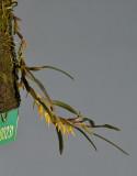 Bulbophyllum pseudoserrulatum