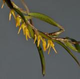 Bulbophyllum pseudoserrulatum. Closer.