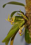 Bulbophyllum xyphoglossum