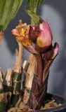 Acanthephippium splendidum. Closer.