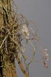 Microcoelia sp.