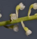 Phreatia sp. Close-up.