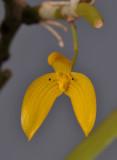 Bulbophyllum ellipticifolium. Closer.