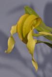 Bulbophyllum grandiflorum (B. micholitzii)