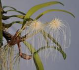 Bulbophyllum medusae. White.