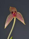 Bulbophyllum anjae. Closer.