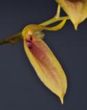Bulbophyllum callichroma. Close-up.