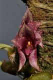 Bulbophyllum agastor. Close-up.
