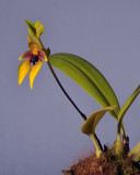 Bulbophyllum amplebracteatum ssp. carunculatum