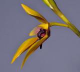 Bulbophyllum amplebracteatum ssp. carunculatum. Closer side.