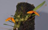 Bulbophyllum hodgsonii
