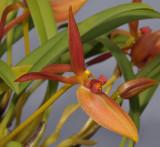 Bulbophyllum rugosum. Close-up.