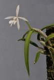 Epidendrum falcatum