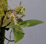 Pteroceras fragrans