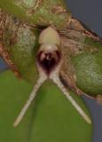 Bulbophyllum bicaudatum. Close-up.