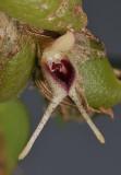 Bulbophyllum bicaudatum. Close-up side.